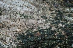 Textura del viejo fondo agrietado secado de la corteza de árbol de mango en sombra Fotografía de archivo libre de regalías