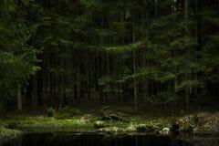 Textura densa Lituânia da floresta dos pinheiros fotos de stock