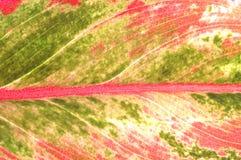 Textura detalhada da árvore vermelha da folha Fotografia de Stock Royalty Free