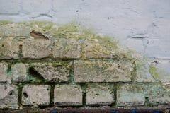 Textura detallada de la pared de ladrillo vieja cubierta con el musgo y el molde Imágenes de archivo libres de regalías