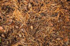 Textura do assoalho da floresta do pinho do outono Fotos de Stock Royalty Free