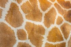 A textura do cabelo do girafa Fotografia de Stock