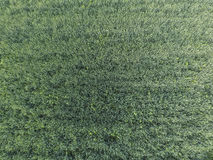 Textura do campo de trigo Fundo do trigo verde novo no campo Foto do quadrocopter Foto aérea do campo de trigo Fotografia de Stock