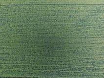 Textura do campo de trigo Fundo do trigo verde novo no campo Foto do quadrocopter Foto aérea do campo de trigo Fotos de Stock Royalty Free