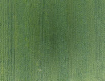Textura do campo de trigo Fundo do trigo verde novo no campo Foto do quadrocopter Foto aérea do campo de trigo Imagens de Stock