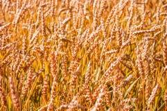Textura do campo de trigo maduro foto de stock royalty free