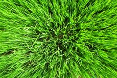 Textura do campo do arroz Fotografia de Stock Royalty Free