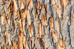 Textura do close up da casca de árvore Fundo de madeira natural Foto de Stock Royalty Free