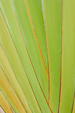 Textura do corpo da árvore do viajante Imagem de Stock Royalty Free