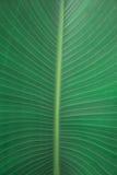 Textura do detalhe da licença da palma Foto de Stock