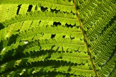 Textura do Fern Foto de Stock Royalty Free