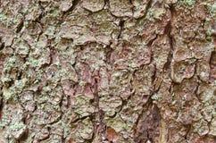 Textura do fundo da casca de árvore Descasque a casca de uma árvore que siga o rachamento Fotos de Stock