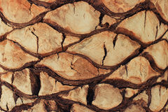 Textura do fundo do close up da palmeira exótica Imagem de Stock