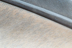 Textura do fundo do close-up da pena do pombo Imagens de Stock