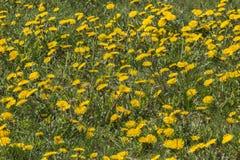 Textura do fundo dos dentes-de-leão do amarelo da grama verde Fotografia de Stock Royalty Free