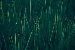 textura do fundo natural de grama verde Imagem de Stock Royalty Free