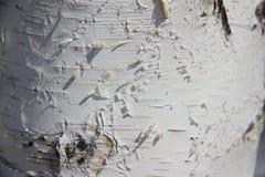 Textura do fundo Tronco do vidoeiro em um bosque do vidoeiro, iluminado pelo sol imagem de stock