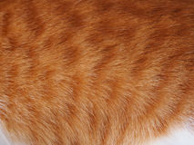 Textura do gato do gengibre Imagens de Stock Royalty Free