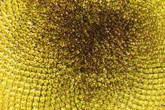 Textura do girassol Fotos de Stock