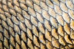 Textura do grunge das escalas de peixes da carpa Imagem de Stock