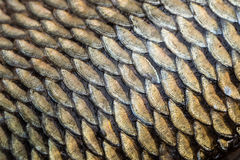 Textura do grunge das escalas de peixes da carpa Fotografia de Stock Royalty Free