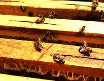 Textura do hexágono do fundo, favo de mel da cera Imagens de Stock Royalty Free