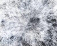 A textura do lobo branco da pele Fotos de Stock Royalty Free
