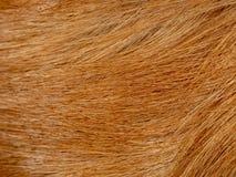 Textura do macro da pele do golden retriever imagem de stock