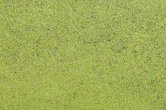 Textura do menor do Lemna Fotos de Stock