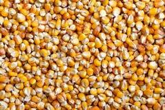 Textura do milho Imagem de Stock Royalty Free