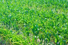 Textura do milho Imagem de Stock