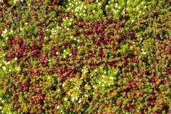 Textura do musgo e das flores da tundra Foto de Stock