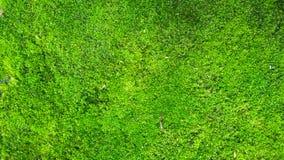 Textura do musgo, fundo com espaço da cópia Fotos de Stock