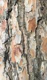 Textura do relevo da textura do relevo do bark_ do pinho de uma casca escamoso imagens de stock royalty free