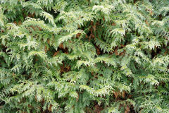 Textura do Thuja Foto de Stock Royalty Free
