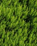 Textura do Thuja Ramos e folhas verdes de árvore do thuja como o fundo natural Fotos de Stock