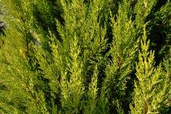 Textura do Thuja Ramos e folhas verdes de árvore do thuja como o fundo natural Fotografia de Stock