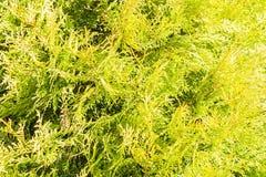 Textura do Thuja Ramos e folhas verdes de árvore do thuja como o fundo natural Imagem de Stock Royalty Free