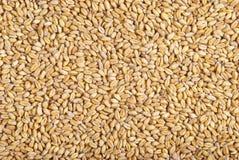 Textura do trigo Foto de Stock