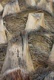 Textura do tronco de palmeira imagem de stock royalty free