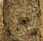 Textura do tronco de pinheiro Imagens de Stock Royalty Free