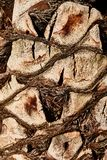 A textura do tronco de uma palmeira O tronco de um close-up da palmeira fotos de stock royalty free