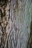 A textura do vidoeiro Foto de Stock