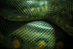Textura e corpo do verde da anaconda imagens de stock