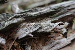 A textura e a estrutura da árvore no log podre Linhas e curvaturas das fibras ao longo do tronco em torno do nó fotos de stock royalty free