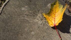 Textura e fundo de madeira da árvore do coto com a folha amarela caída imagem de stock