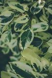 Textura e fundo verdes da folha Feche acima da vista da folha verde O verde deixa o teste padrão Imagem de Stock