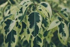 Textura e fundo verdes da folha Feche acima da vista da folha verde O verde deixa o teste padrão Fotos de Stock