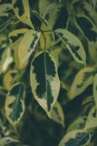 Textura e fundo verdes da folha Feche acima da vista da folha verde O verde deixa o teste padrão Foto de Stock