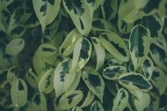 Textura e fundo verdes da folha Feche acima da vista da folha verde O verde deixa o teste padrão Foto de Stock Royalty Free
